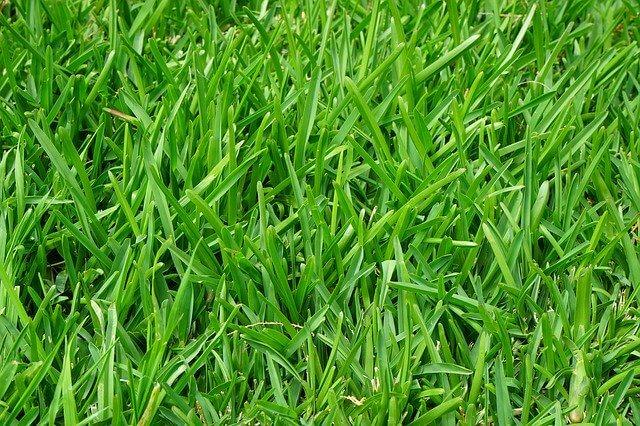 choroby trawników