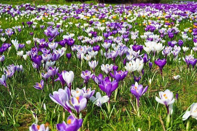 fioletowe kwiaty wiosenne