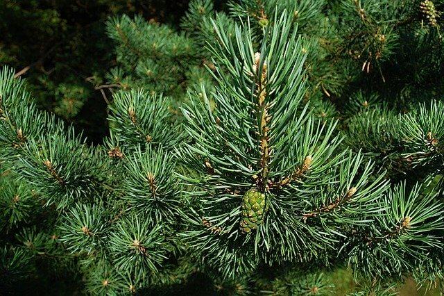 szkodniki drzew iglastych