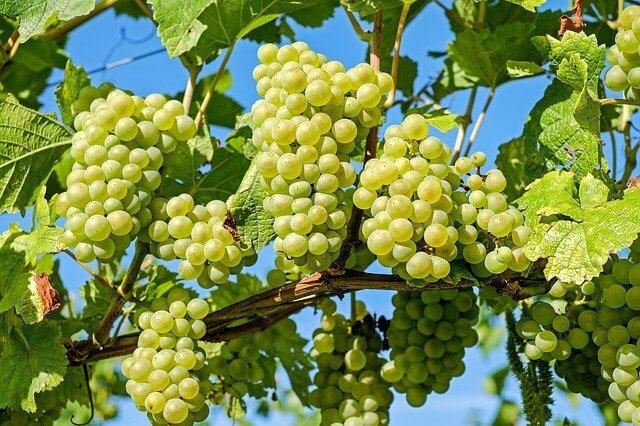uprawa winorośli na działce